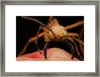 Army Ant Eciton Hamatum Major Worker Framed Print
