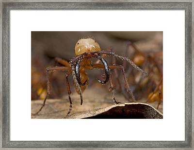 Army Ant Soldier With Giant Mandibles Framed Print