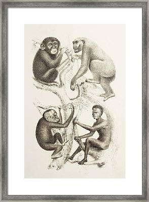 Artwork Of Four Apes, 1874 Framed Print by Mehau Kulyk