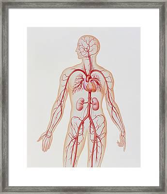 Artwork Of Human Arterial System Framed Print by John Bavosi