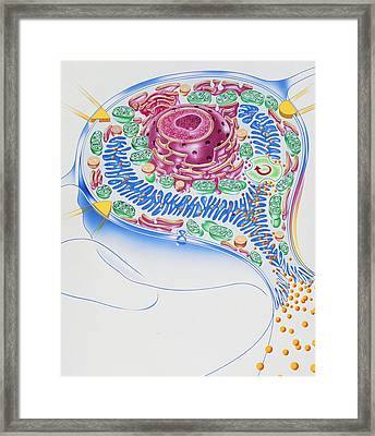 Artwork Of Stomach Cell And Ulcer-healing Drugs Framed Print