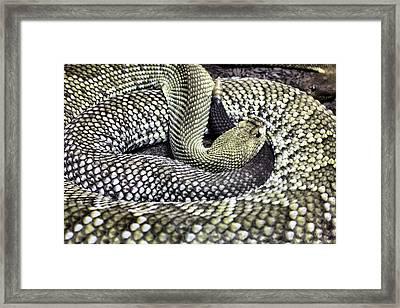 Aruban Framed Print by JC Findley