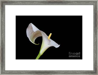 Arum Lily Framed Print by Pete Reynolds
