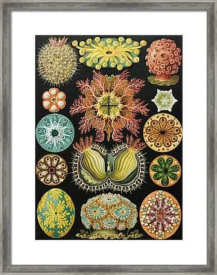 Ascidiae Organisms, Artwork Framed Print