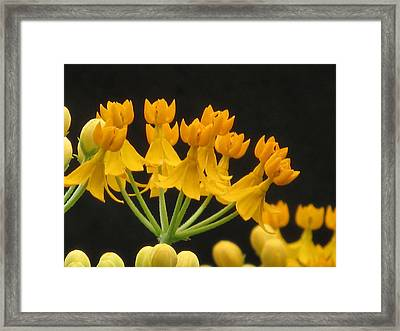 Asclepia Framed Print by Alfred Ng