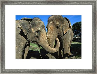 Asian Elephant Elephas Maximus Pair Framed Print by Zssd
