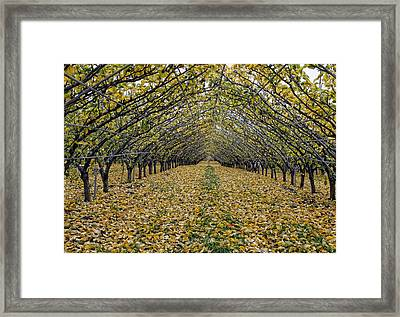 Framed Print featuring the photograph Asian Pear Trees by Sami Martin