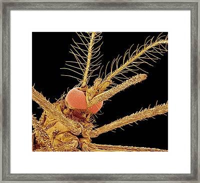 Asian Tiger Mosquito, Sem Framed Print by Susumu Nishinaga