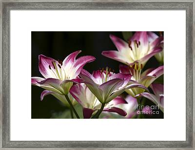 Asiatic Lilies Framed Print by Sharon Talson
