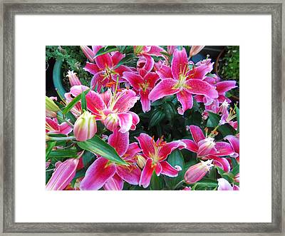Asiatic Lillies Framed Print