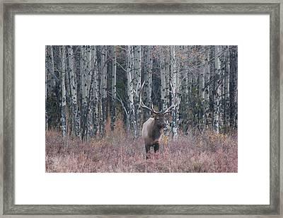 Aspen Elk Framed Print by David Wilkinson