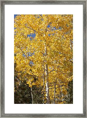 Framed Print featuring the photograph Aspen Gold by Marta Alfred