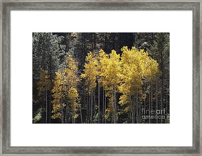 Aspen Gold Framed Print