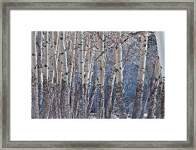 Aspen Grove Framed Print by Colleen Coccia