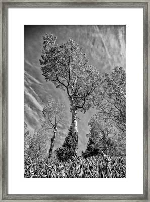 Aspen In The Sky Bw Framed Print by Mitch Johanson
