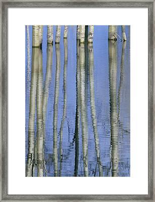 Aspen Poplar Trees Reflected In Spring Framed Print by Darwin Wiggett