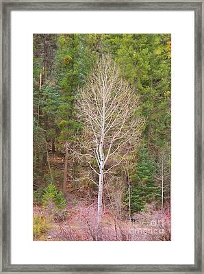 Aspen Tree Forest Road 249 Framed Print