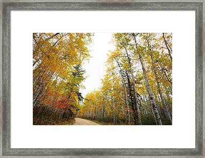 Aspen Tree In Autumn In Meadow Lake Park Saskatchewan Framed Print