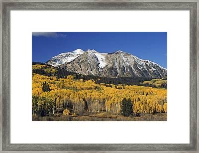 Aspen Trees In Autumn, Rocky Mountains Framed Print by David Ponton