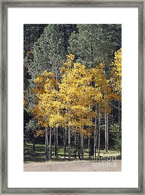 Aspens In Color Framed Print