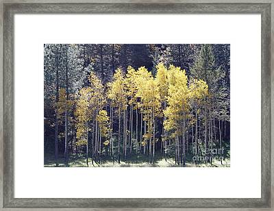 Aspens In Sunlight Framed Print