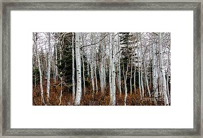 Aspens Framed Print by Robert Bales
