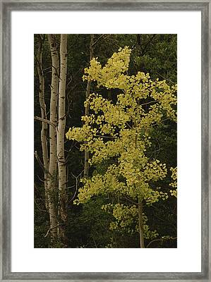Aspens Stand Tall In This Woodlands Framed Print by Raymond Gehman