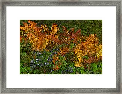 Asters And Ferns Framed Print by Ron Jones