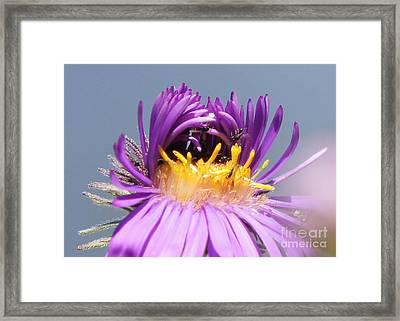 Asters Starting To Bloom Close-up Framed Print