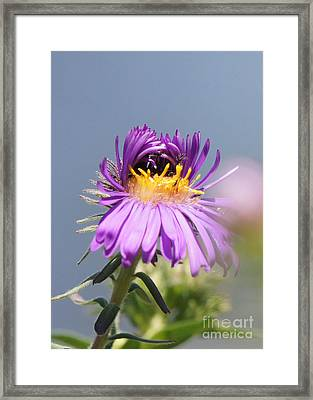 Asters Starting To Bloom Framed Print