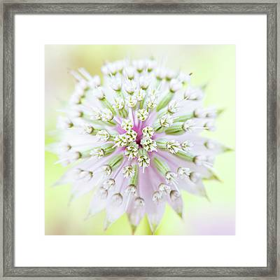 Astrantia Flower Framed Print