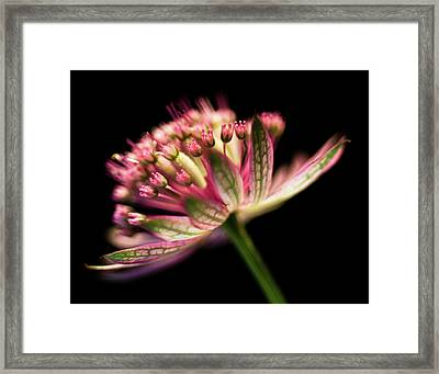 Astrantia Framed Print