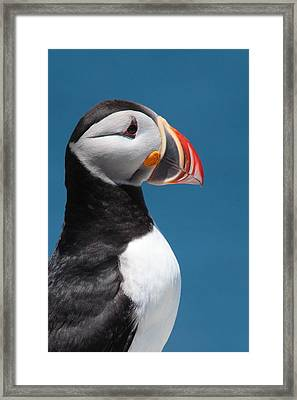 Atlantic Puffin Framed Print by Bruce J Robinson