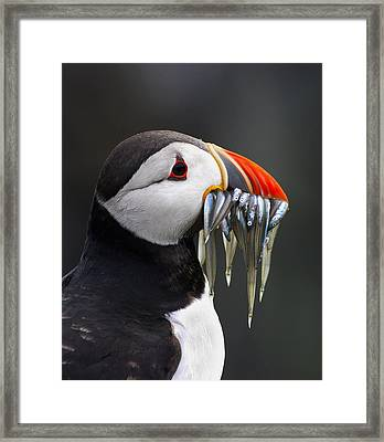 Atlantic Puffin Fratercula Arctica Framed Print by Wim Klomp