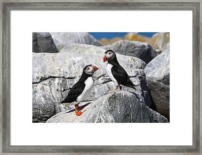 Atlantic Puffins Framed Print by Bruce J Robinson