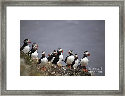 Atlantic Puffins On Cliff Edge Framed Print by Greg Dimijian