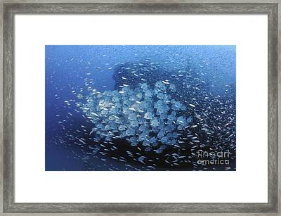 Atlantic Spadefish And Baitfish School Framed Print by Karen Doody