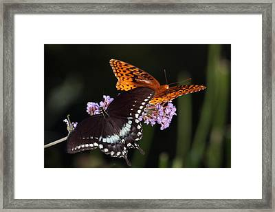 August Butterflies Framed Print by Kathryn Mayhue