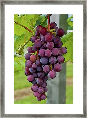 August Grapes Framed Print by Michael Flood