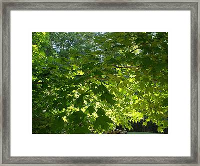 August Leaf Canopy Framed Print by Suzanne Fenster