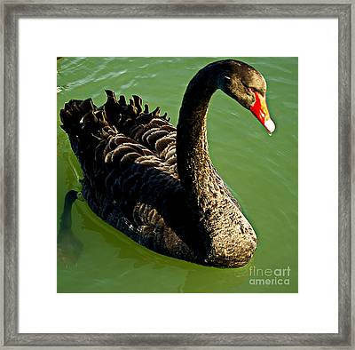 Australian Black Swan Framed Print