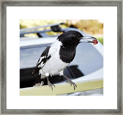 Australian Magpie With Salami Framed Print