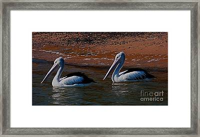 Australian Pelicans Framed Print