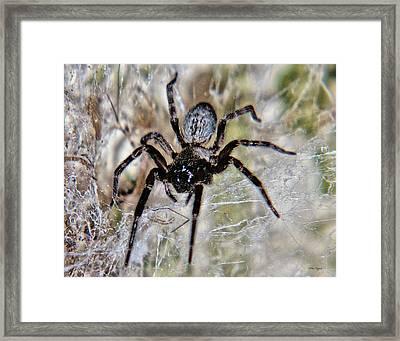 Australian Spider Badumna Longinqua Framed Print
