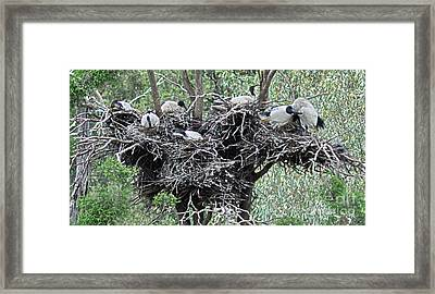 Australian White Ibis With Nests Framed Print