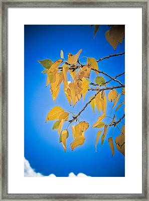 Autumn Aspen Leaves And Blue Sky Framed Print by James BO  Insogna