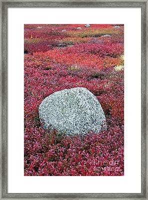 Autumn Blueberry Field Framed Print by John Greim