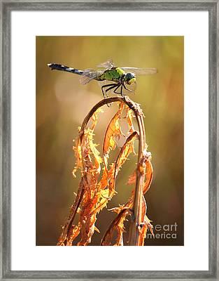 Autumn Dragonfly Framed Print by Carol Groenen