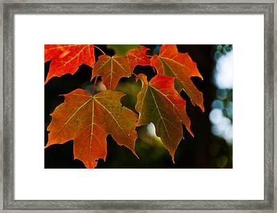 Autumn Glory Framed Print by Cheryl Baxter