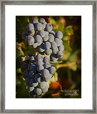 Autumn Grapes On A Vineyard Branch In The Fields At A Winery In  Framed Print by ELITE IMAGE photography By Chad McDermott
